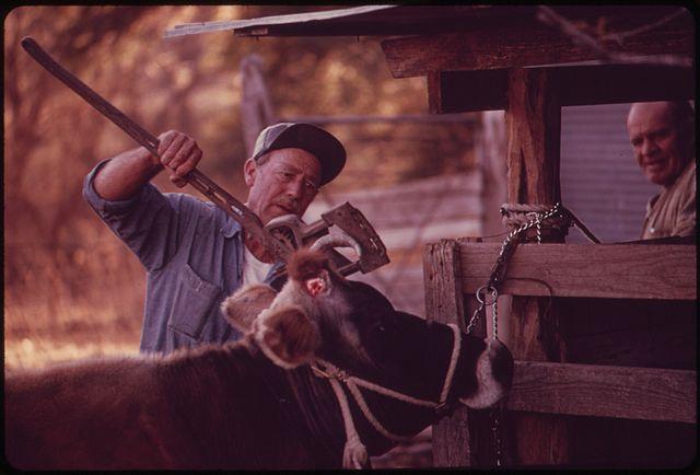 640px-COW_ON_A_FARM_NEAR_LEAKEY,_BEING_DE-HORNED._NEAR_SAN_ANTONIO_-_NARA_-_554950